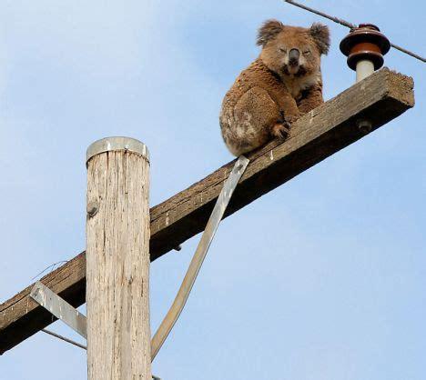 must be the buzz: koala dozes off up an electricity
