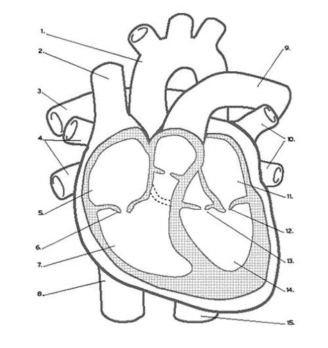 photo heart layout unlabeled heart diagram diagrams for all