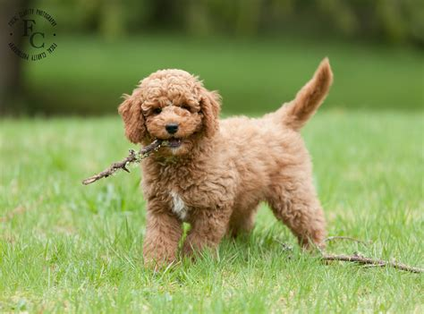 labradoodle haircut pictures new style for 2016 2017