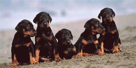 dobie puppies doberman pinscher information characteristics facts names