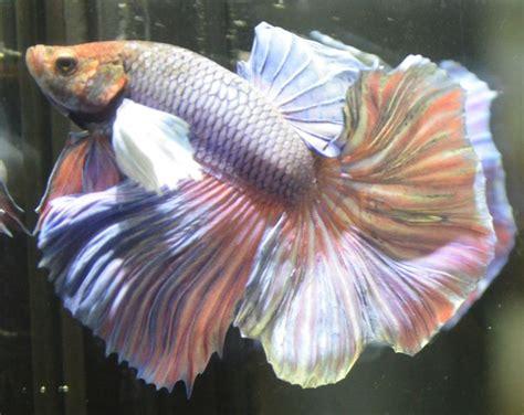 masculine purple live betta fish pastel multicolred dumbo ears halfmoon