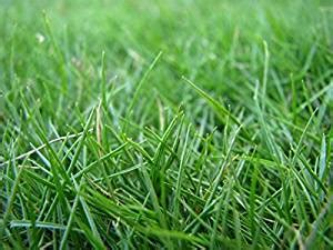 hulled bermuda couch com hulled coated bermuda grass 1 lb garden
