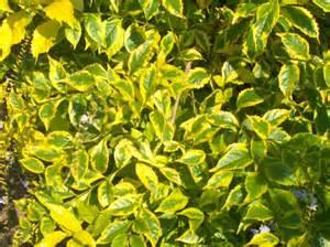 online plant guide duranta erecta golden edge golden eagle duranta