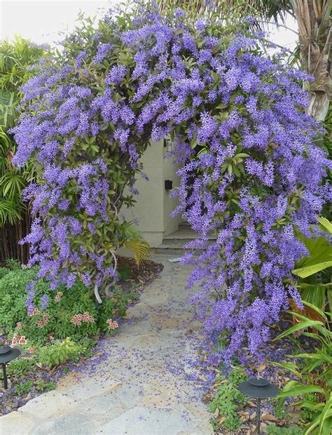 florida climbing plants climbing vines with flowers for florida pictures to pin on
