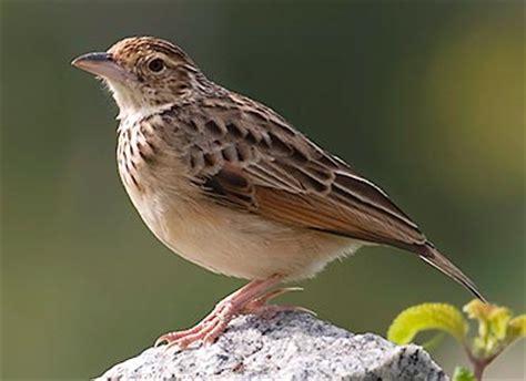 Pakan Branjangan Jawa branjangan vs pipit kicau burung indonesia