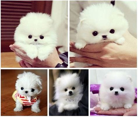 small white pomeranian puppies pomeranian white puppy hollis teacup pomeranian