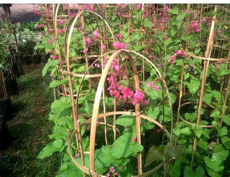 Jual Bibit Bunga Melati Belanda tukang pohon merambat jual tanaman rambat bunga citra