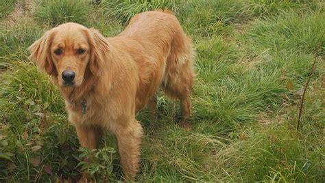 shoo for golden retriever golden retriever shoo pet shop sued after golden retriever fails to retrieve any