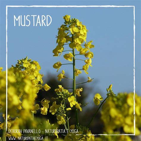 mustard fiori di bach fiori di bach deborah pavanello