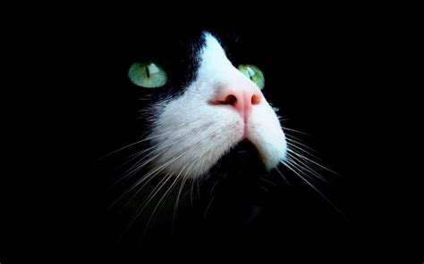 wallpaper cat eyes cats with green eyes wallpapers beautiful hd pictures