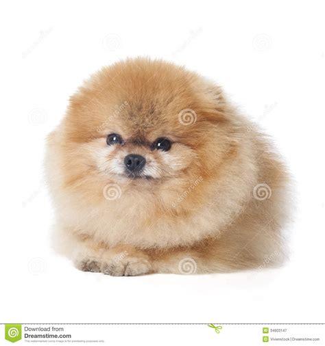 chien pomeranian race de chien de pomeranian photographie stock libre de droits image 34603147