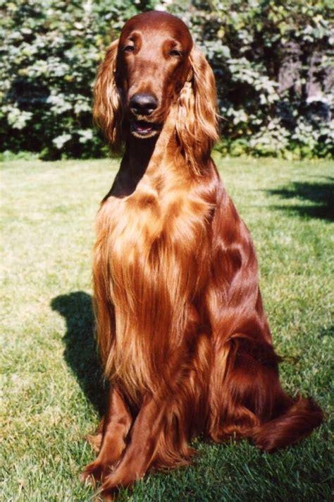 setter dog short hair irish setter