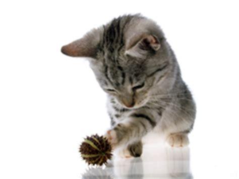 pug ear mites my cat has ear mites bugs in my cats ears ear wax in my kittens ear