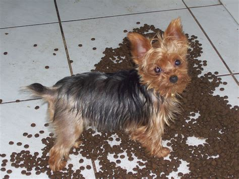 yorkies florida yorkie rescue florida 2015 personal