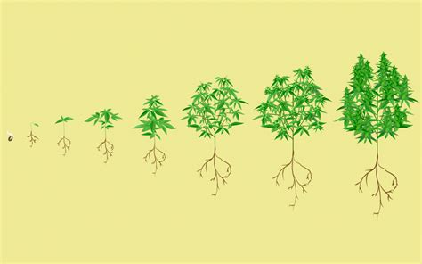 stages   cannabis plant growth cycle  pictures leafly