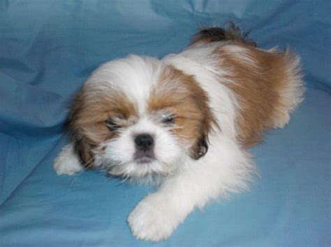 gold and white shih tzu puppies shih tzu puppies white and gold www pixshark images galleries with a bite