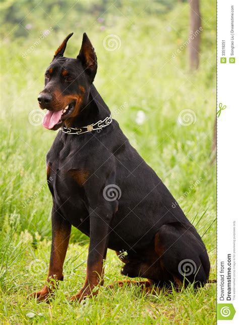 how to doberman to be a guard doberman pinscher wallpaper the universe of animals