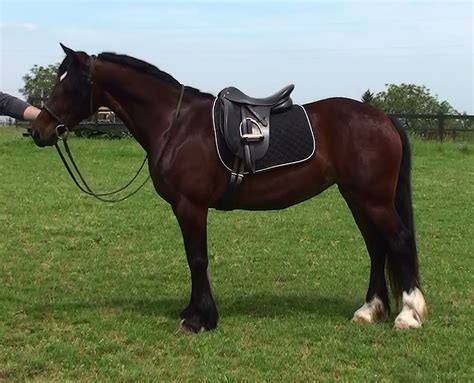 welsh section d cobs for sale welsh sport horses for sale at warmblood sales com