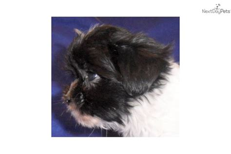 munchkin puppy meet munchkin a mal shi malshi puppy for sale for 400 munchkin mal shi