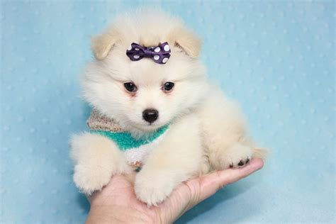 teacup pomeranian puppies california ace teacup pomeranian puppy in ca found a new loving home
