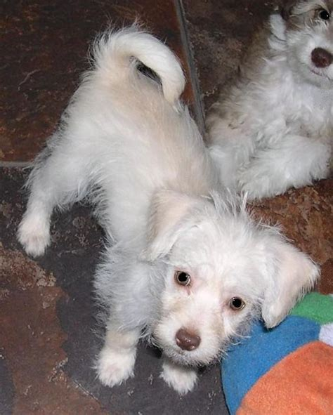 havanese schnauzer mix puppies gala schnauzer havanese mix baby small pj s small rescue
