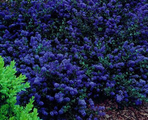 ceanothus blue sapphire 7 quot pot hello hello plants