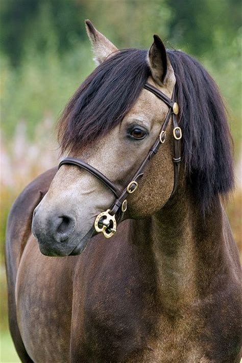 connemara pony coloring pages connemara stallion named rockfield scarface horses we