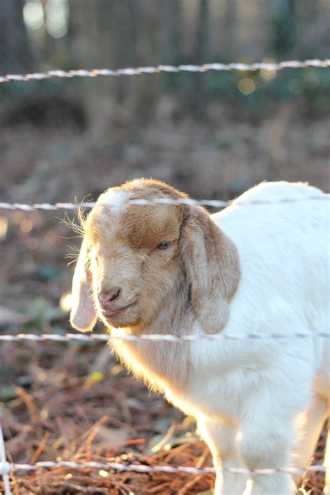get your goat rentals renting goats for removal a follow up erin spain