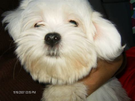 maltese poodle lifespan maltese breed information puppies pictures