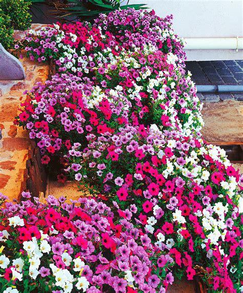 fiori petunia acquista petunie bakker