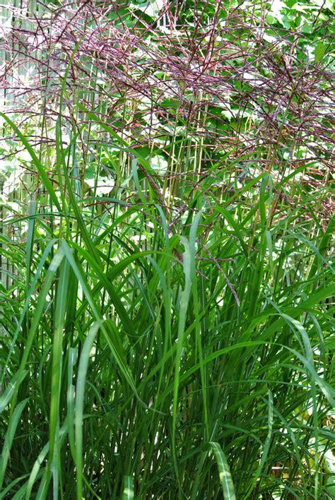 Hohe Sichtschutz Pflanzen 794 by Chinaschilf Ferner Osten Miscanthus Sinensis Ferner