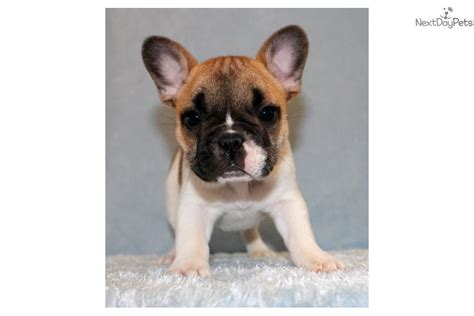 bulldog puppies near me bulldog puppy for sale near los angeles california ae4cc072 af71