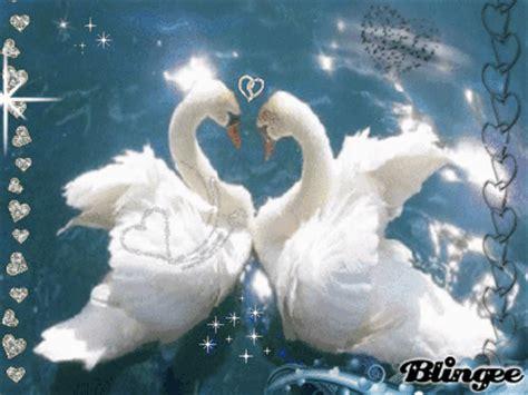 imagenes gif de hacer el amor cisnes amor fotograf 237 a 107070881 blingee com