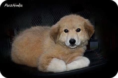 golden retriever albany ny pushinka adopted puppy albany ny great pyrenees golden retriever mix