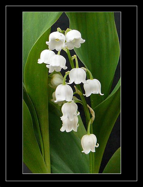 fiore immagini immagini fiori di mughetto mughetto fiori coltivazione e