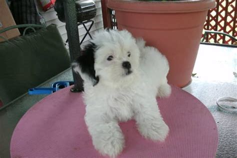 shih tzu puppies for adoption in ky bred ckc shih tzu puppy up for adoption in louisville kentucky new york