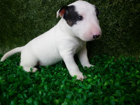 puppy bull terrier bull terrier puppies rescue pictures information temperament characteristics