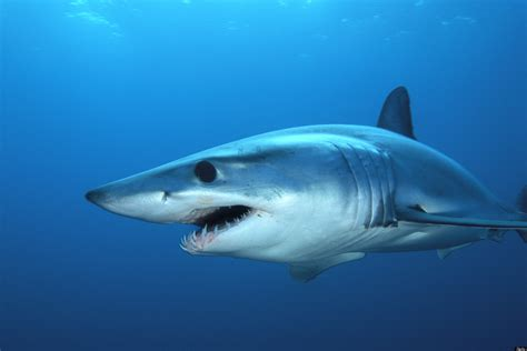 mako shark boats shark jumps into boat scares the carp out of new jersey
