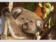 Education Resources   Australian Koala Foundation Koalas Habitat And Diet