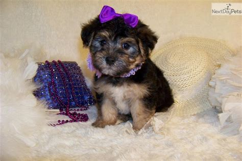 yorkie poo price yorkiepoo yorkie poo puppy for sale near st louis missouri cd84be16 6831