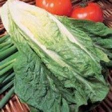 Benih Tanaman Pappermint Isi 50 Maica Leaf benih selada green 5 gram known you seed
