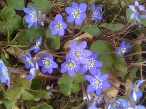 bl 229 sippa spring flowers in sweden my swedish heritage pinterest