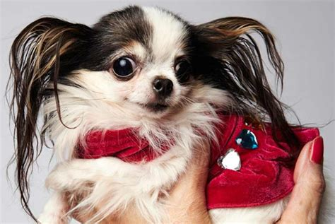 smallest puppies in the world small breeds information and pictures of all small dogs