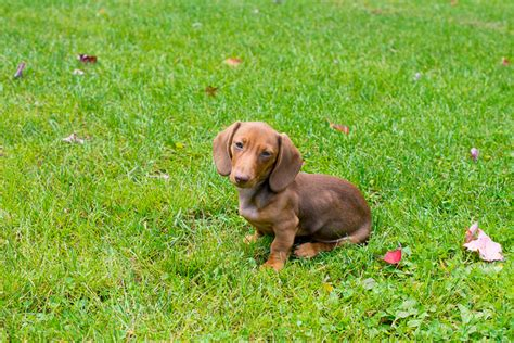how to poty a how to a dachshund puppy to potty outside 1001doggy