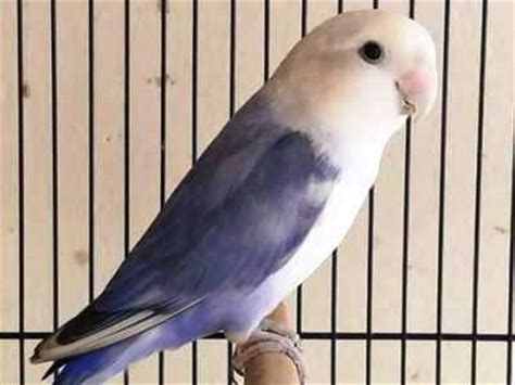seputar ciri burung lovebird violet beserta gambar dan harganya burungcantik
