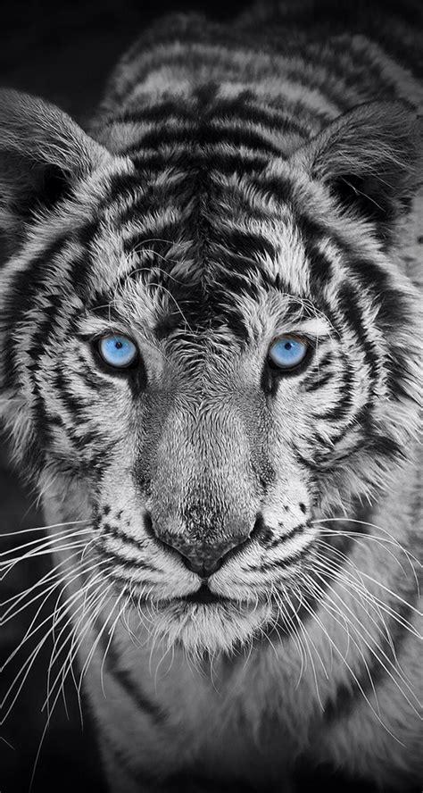 imagenes tumblr de tigres fondo de pantalla animales tigre blanco fondos