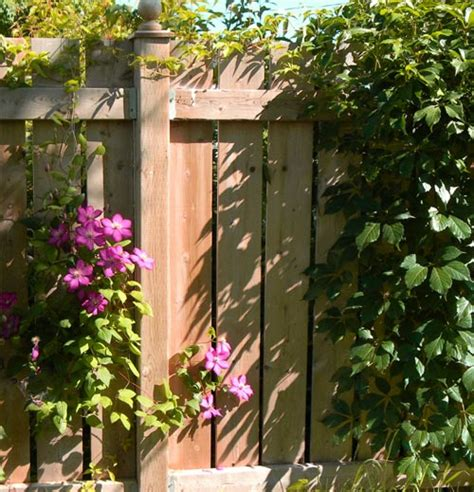 climbing plants for fence 3 ways to give your garden fence a brand new look uk