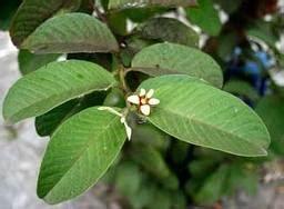 Daun Jambu Biji Klutuk macam macam penyakit dan cara pengobatannya obat herbal tradisional alami page 4
