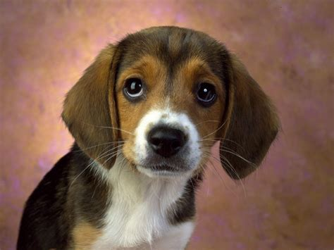 the puppy hound dogs images beagle puppy hd wallpaper and background photos 15363092