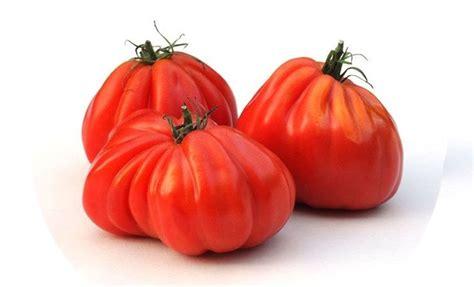 pomodori cuore di bue in vaso piante di pomodoro cuor di bue punente f1 in vaso 10 cm